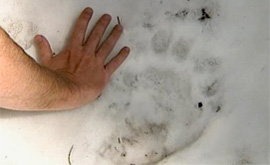 600lb black bear print in snow